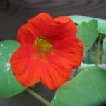 Essbare Blüten gesund und dekorativ