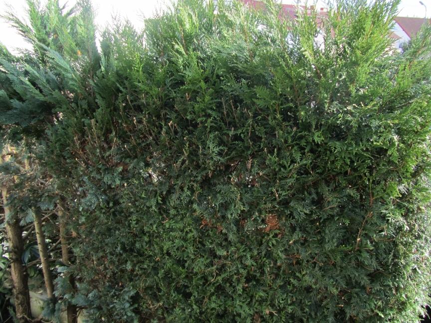 """Thuja """"Der Lebensbaum"""" ist giftig und kann lebensgefährlich werden"""