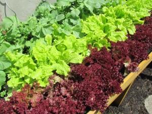 Hochbeet Salat