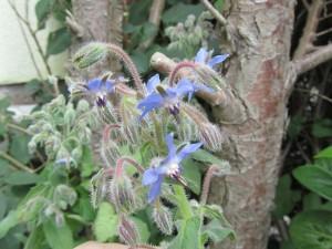 Boretsch mit blauen und lila Blüten