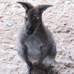 Kleines Kangaroo