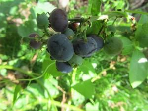Heidelbeeren der Sorte Reka Blue, geschmacklich lecker und einfach im Anbau