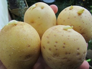 stark gekeimte Kartoffeln besser nicht essen
