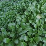 Was Feldsalat zu einem der gesündesten Salate macht und wie man ihn selbst anbauen kann