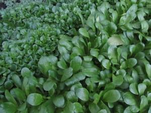 Bio Feldsalat garantiert ohne giftige Spritzmittel aus meinem Hochbeet im Garten
