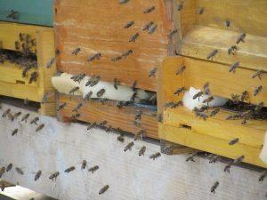 Bienen auf der Mehlinger Heide aus traditioneller deutscher Imkerei bei der Heidehonigproduktion