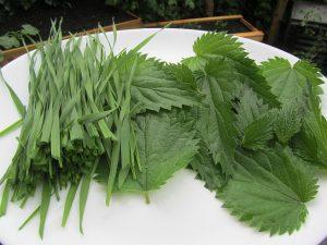 Brennnesseln und Weizengras aus eigenem Anbau für den grünen Brennnesselblätter Smoothie