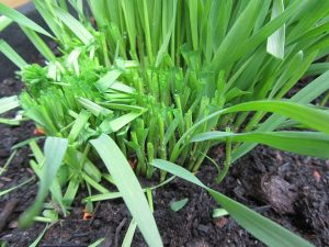 Das Weizengras aus Eigenanbau lässt sich mehrfach zurückschneiden und ernten dies ist mindestens drei Mal möglich