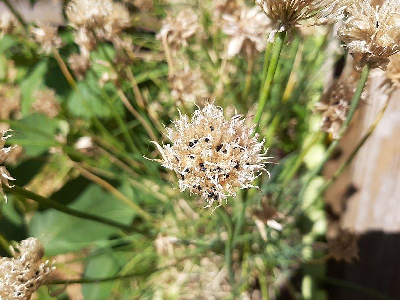 Schnittlauch Blütenstand vertrocknet mit Samen