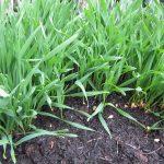 Weizengras selbst anbauen, wie das Ziehen von Weizengras im Eigenanbau funktioniert und was es dabei alles zu beachten gilt