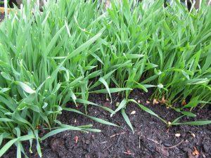 Selbst angebautes Weizengras wächst auf fruchtbarer Erde äußerst schnell sodass eine sehr günstige Selbstversorgung ohne Probleme möglich ist