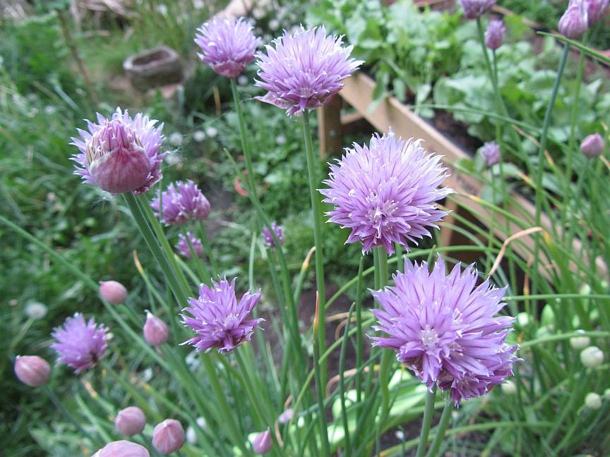 Die Schnittlauchblüte, kann man sie eigentlich essen und darf Schnittlauch auch während der Blütezeit noch geerntet und verzehrt werden?
