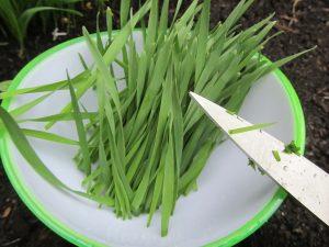 Weizengras aus eigenem Anbau ist frischer, gesünder und aromatischer als jedes Weizengraspulver und garantiert absolut frei von giftigen Pflanzenschutzmitteln