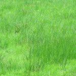 """Kann ein Mensch Gras essen, oder sich ausschließlich von """"normalem"""" Gras von der Wiese ernähren?"""