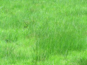 Kann ein Mensch Gras essen, viele Gräser in Wildwiesen sind essbar leider nicht ohne Vorbehandlung