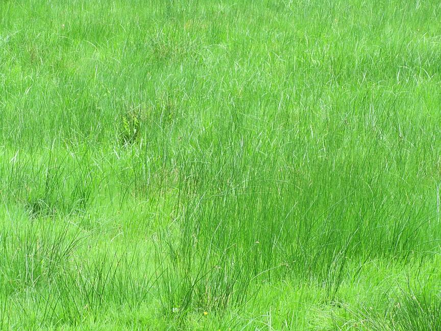 """Kann ein Mensch Gras essen oder sich ausschließlich von """"normalem"""" Gras einer Wiese ernähren?"""