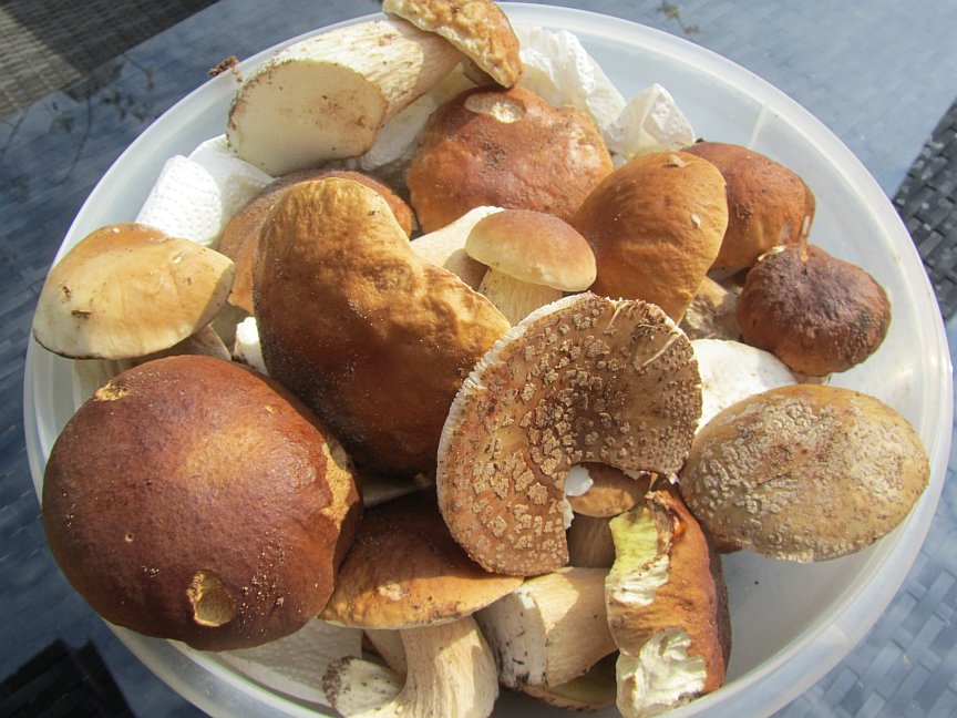 Kann man alle Pilze roh essen? - Warum wenige Ausnahmen wie Champignons roh gegessen werden können und andere Pilze im Rohzustand ungesunde, schädliche bis hin zu tödlichen Folgen haben können