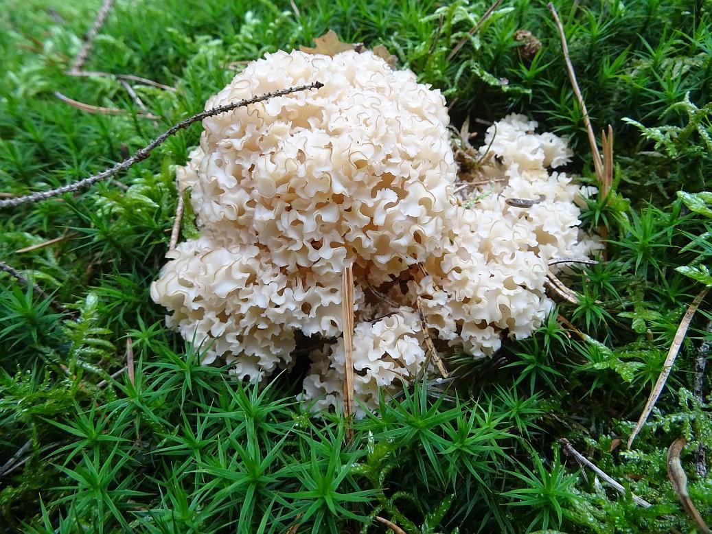 Der Krause Glucke Pilz – Wo kann ich den gesunden und leckeren Gourmetpilz finden, wie bereite ich ihn zu und welche Verwechslungspartner gibt es im Wald?