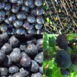 Acai Beeren und ihr Wert in einer ausgewogenen Ernährung und für unsere Gesundheit