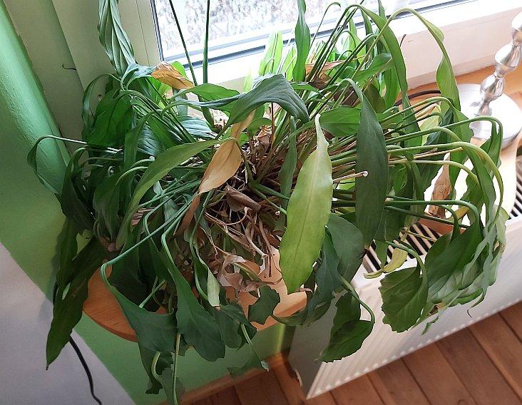 Einblatt Pflanze lässt Blätter hängen